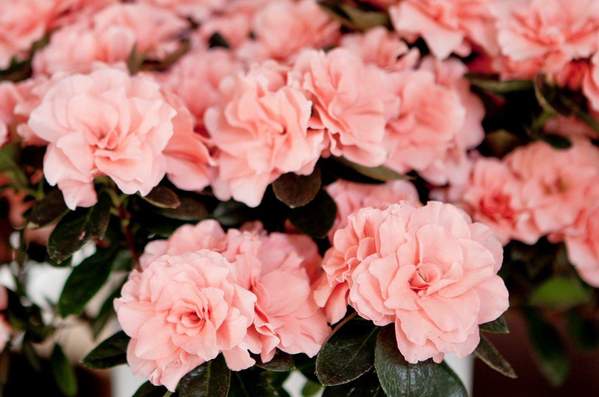 Azalea indica Aiko Rose