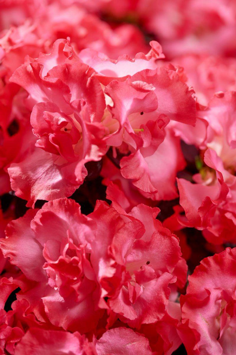 Azalea indica Hortinno Primavera